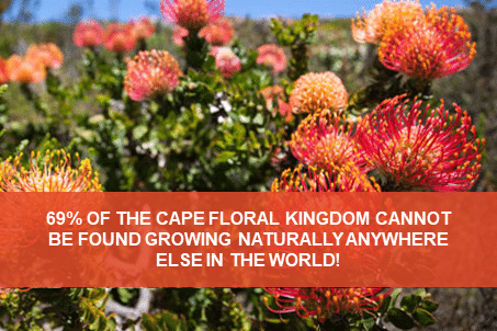 The blooming biodiversity of the Cape Floral Region